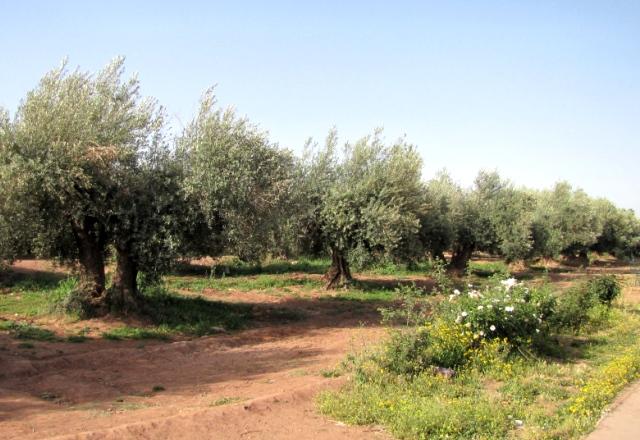 Maroc Marrakech oliveraie